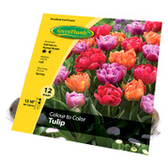 Van Bloem 15223 Green Thumb GT12CT Color Tulip Bulb